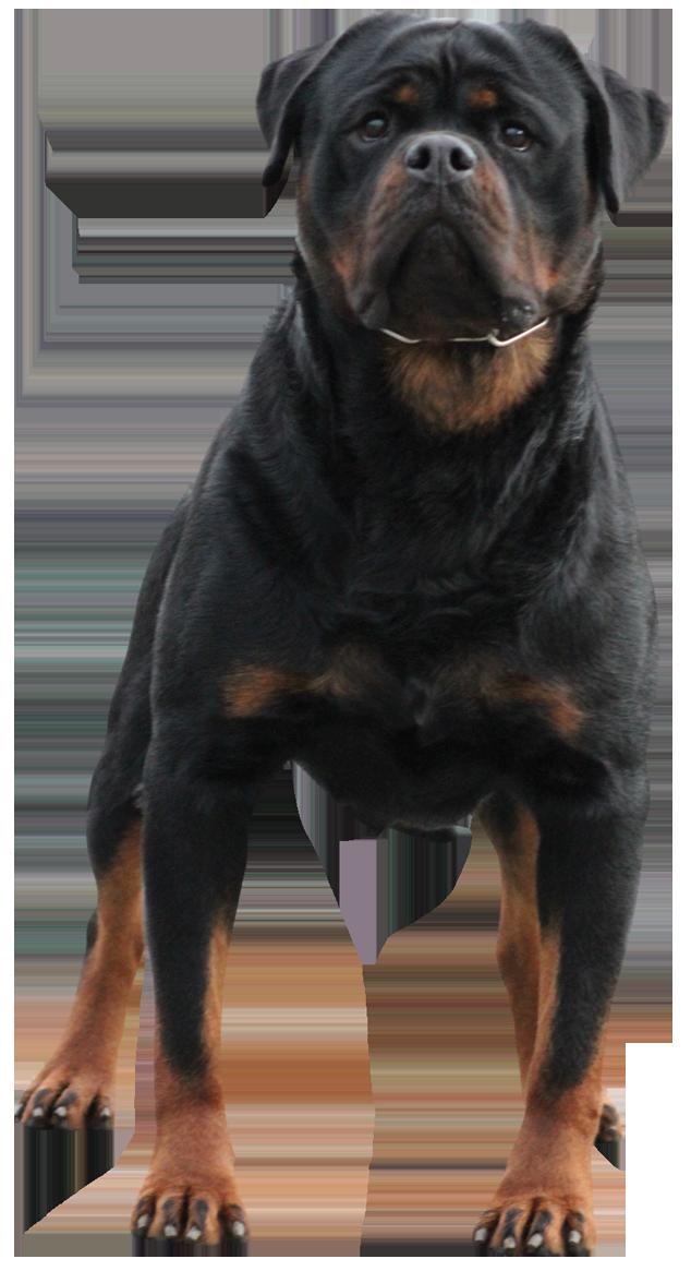 Vhhrottweilers Rotweiler Puppies Vhh Rottweilers